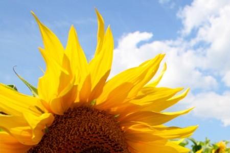 Floarea Soarelui www.albumdefamilie.ro