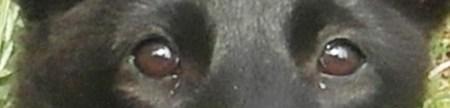 Penelopa ochi